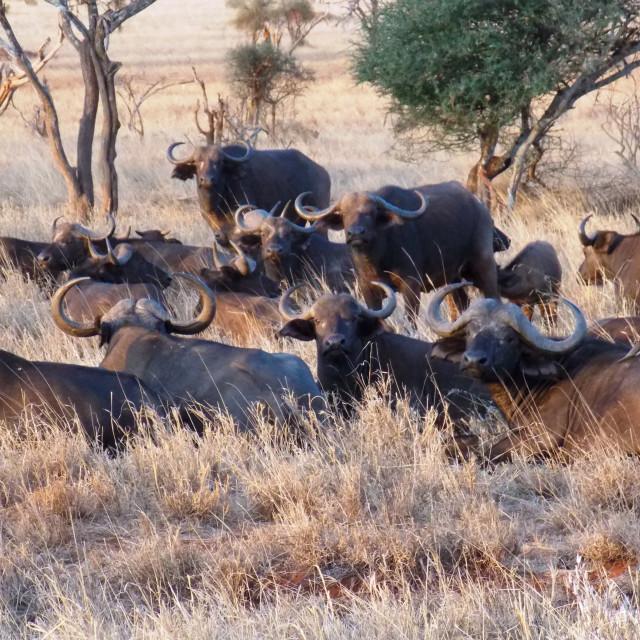 """Buffalos"" stock image"