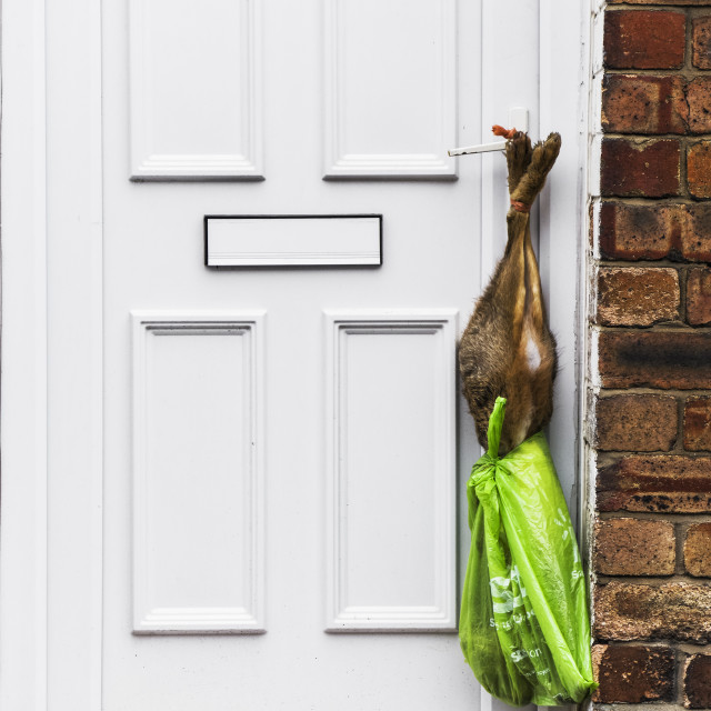 """""""Hare hanging on a door"""" stock image"""