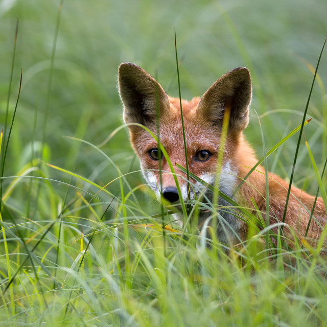 """Fox hidden in the grass, a portrait"" stock image"