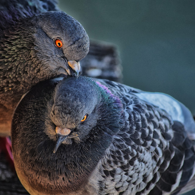 """Pigeon Love"" stock image"