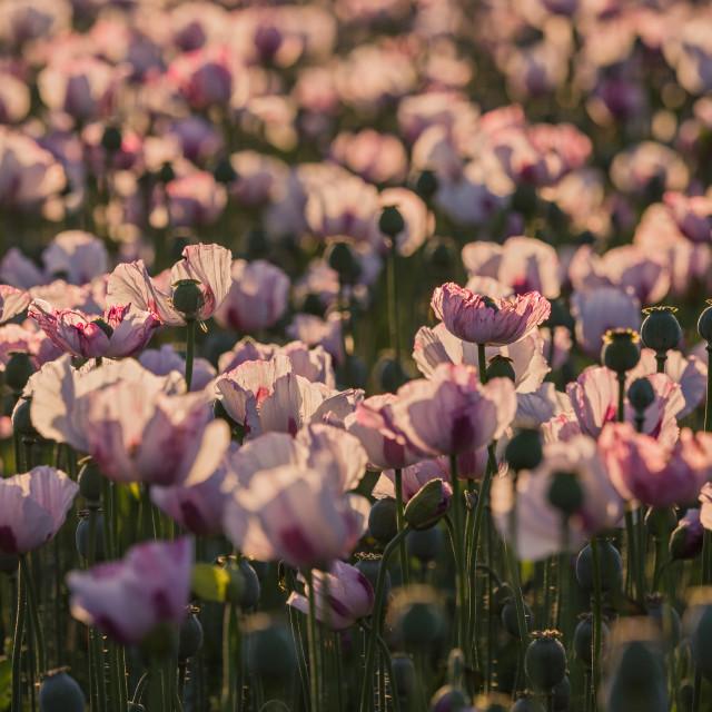 """Opium Poppies"" stock image"