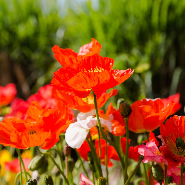 """Vibrant red poppies in bright sun light"" stock image"