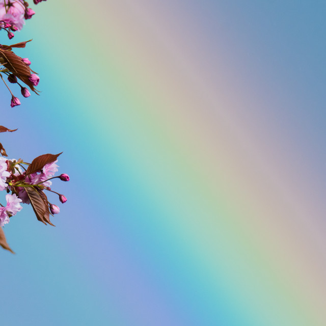 """Rainbow through cherry blossom"" stock image"