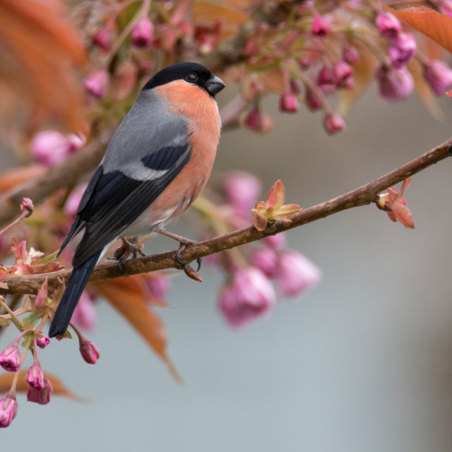 """Bullfinch"" stock image"