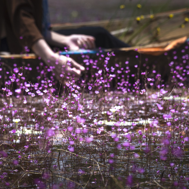"""peasant girl with long black hair is boating on a canal full pink Ultricularia flowers"" stock image"
