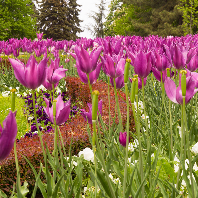 """""""Pink tulips in beautiful park"""" stock image"""