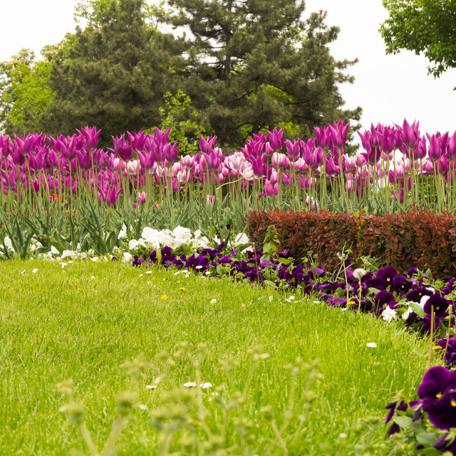 """""""Pink tulips and violet and white various flowers"""" stock image"""