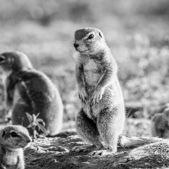"""""""Ground squirrels in the sand in black and white."""" stock image"""