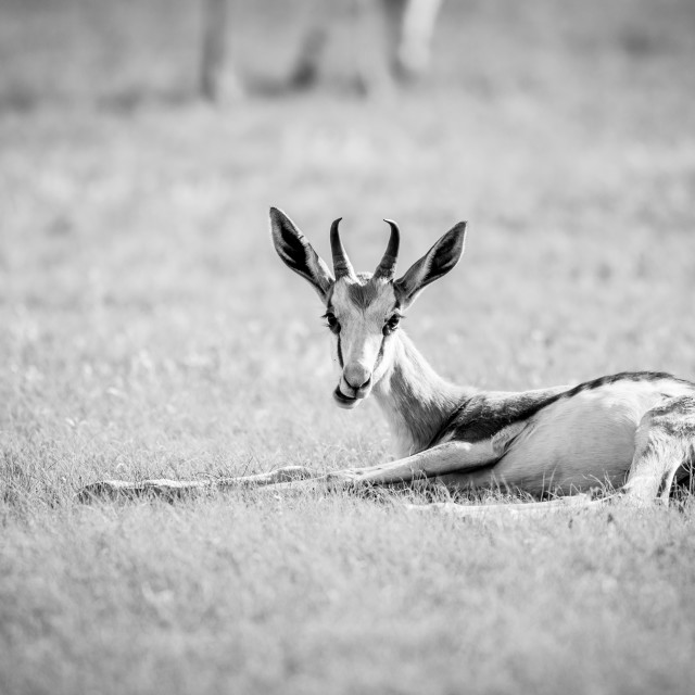 """""""Springbok laying in the grass in black and white."""" stock image"""