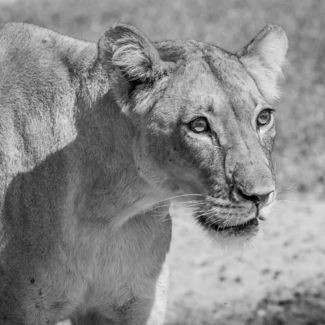 """""""Side profile of a Lioness in black and white."""" stock image"""