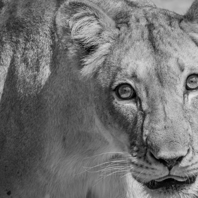 """""""Lioness starring at camera in black and white."""" stock image"""