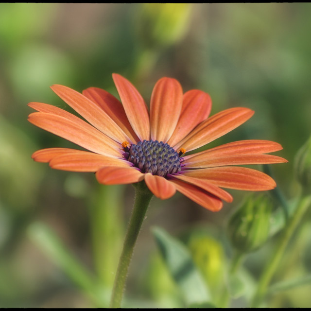 """Beautiful Osteospermum"" stock image"