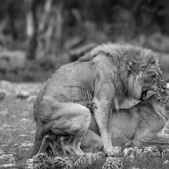 """""""Mating pair of Lions in black and white."""" stock image"""