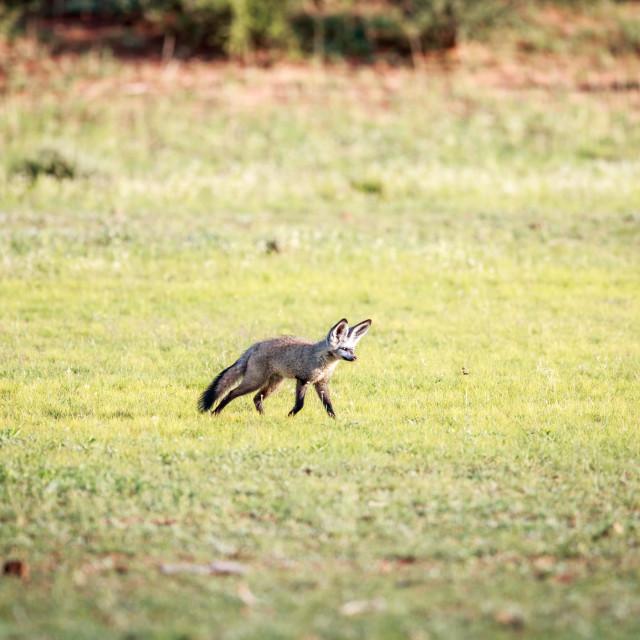 """Bat-eared fox walking in the grass."" stock image"