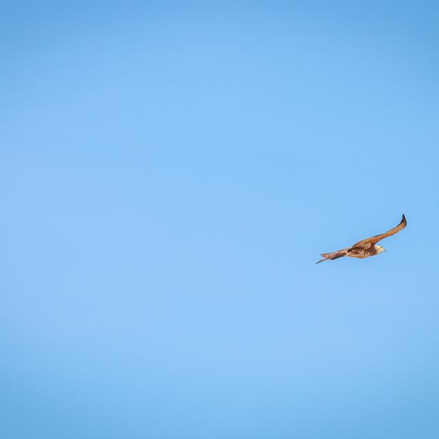 """""""Flying juvenile Pale-chanting goshawk."""" stock image"""