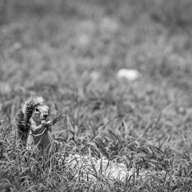 """""""Ground squirrel eating grass in black and white."""" stock image"""