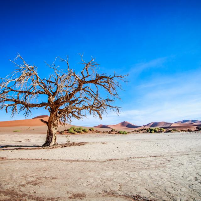 """""""Dead tree in Sossusvlei desert."""" stock image"""