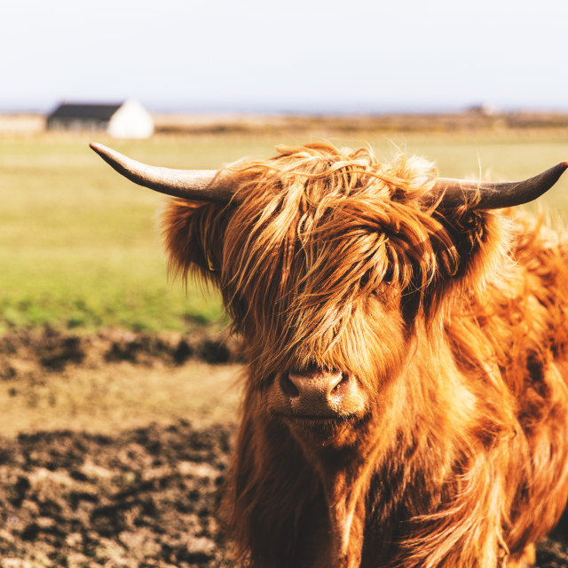 """Highland cattle cow in Scotland field"" stock image"