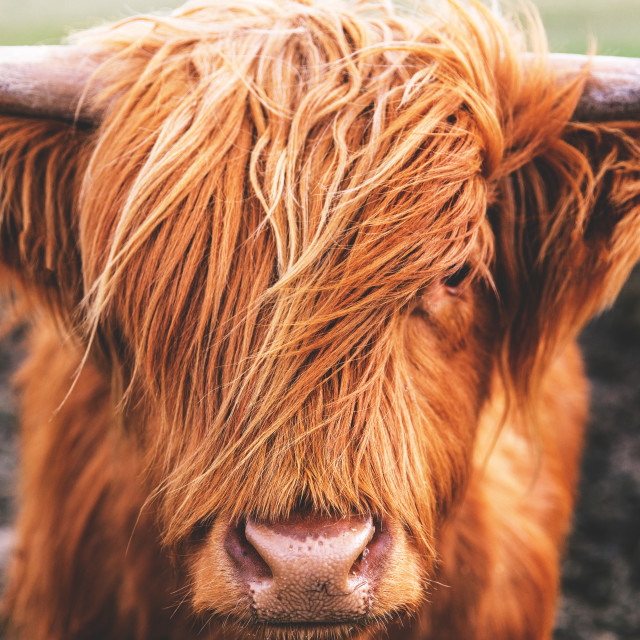 """Highland cow cattle in Scotland"" stock image"