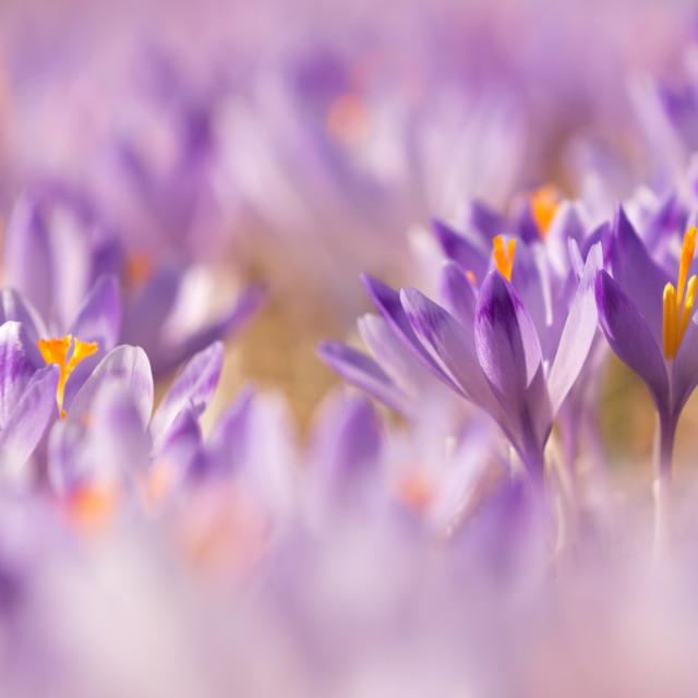 """Beautiful colored crocus flowers"" stock image"