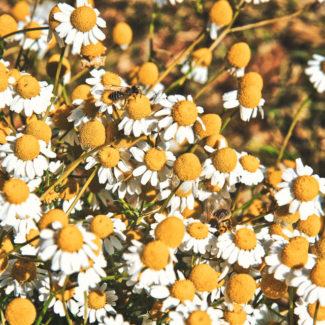 """""""Bees in marguerites"""" stock image"""