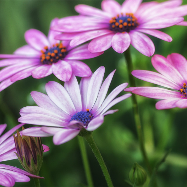 """Beautiful Osteospemum"" stock image"