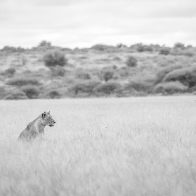 """""""Lion in the high grass in black and white."""" stock image"""