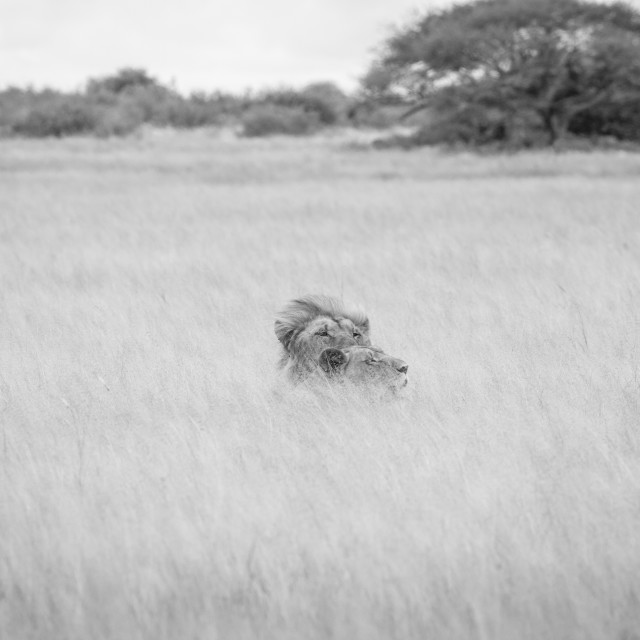 """""""Mating couple of Lions in black and white."""" stock image"""