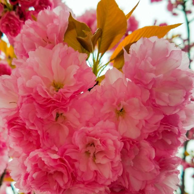 """Cherry Blossom-Spring 2017-1"" stock image"