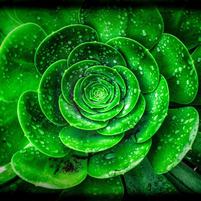 """Green Succulent"" stock image"