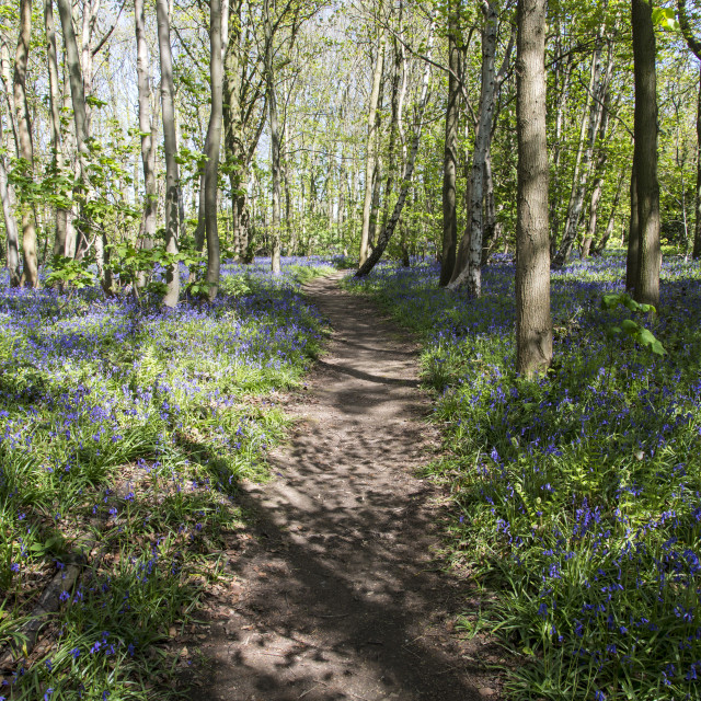 """Pathway Through Bluebell Wood"" stock image"