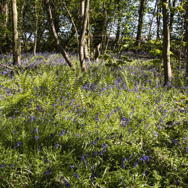"""Burton Mere Bluebell Wood"" stock image"