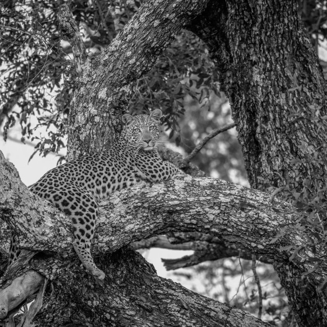 """""""Leopard laying in a tree in black and white."""" stock image"""