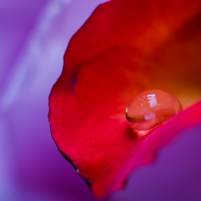 """Orange rose colors in water drops with blurry lovely violet back"" stock image"