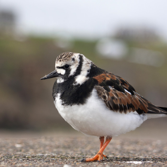 """""""Ruddy Turnstone - Arenaria Interpres - on the sea wall at Whitby"""" stock image"""