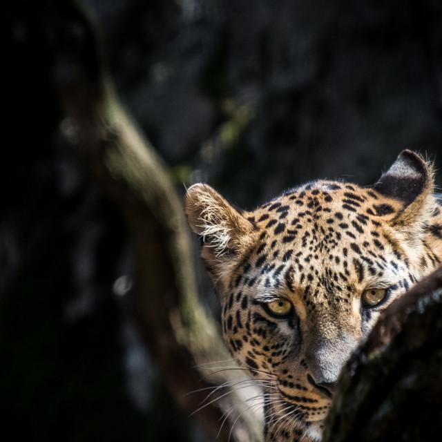 """Persian leopard"" stock image"