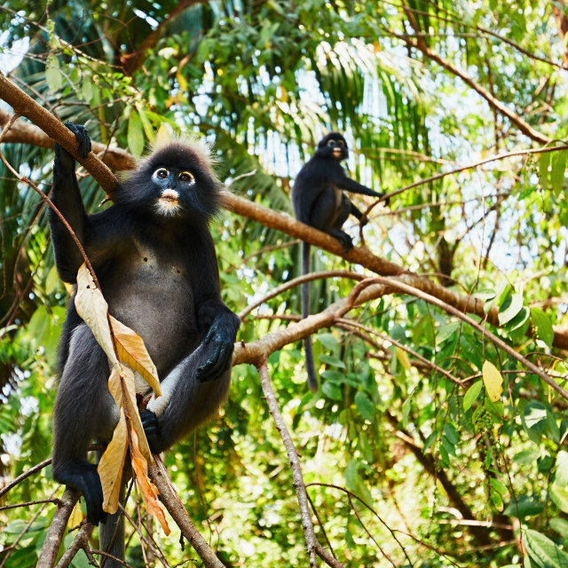"""Two gibbons in jungle"" stock image"