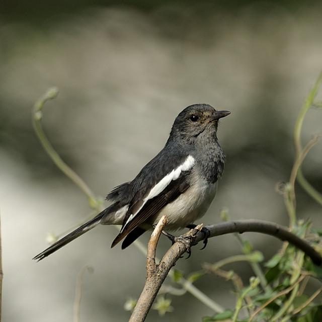 """Oriental Magpie Robin"" stock image"
