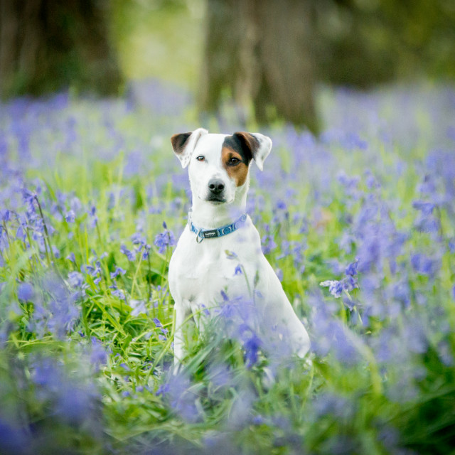 """Jack Russell in amongst bluebells"" stock image"