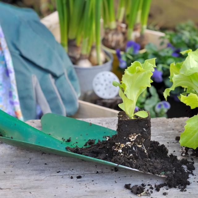 """""""seedling of lettuce"""" stock image"""