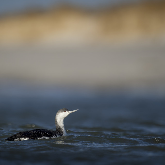 """""""Red-throated Loon"""" stock image"""