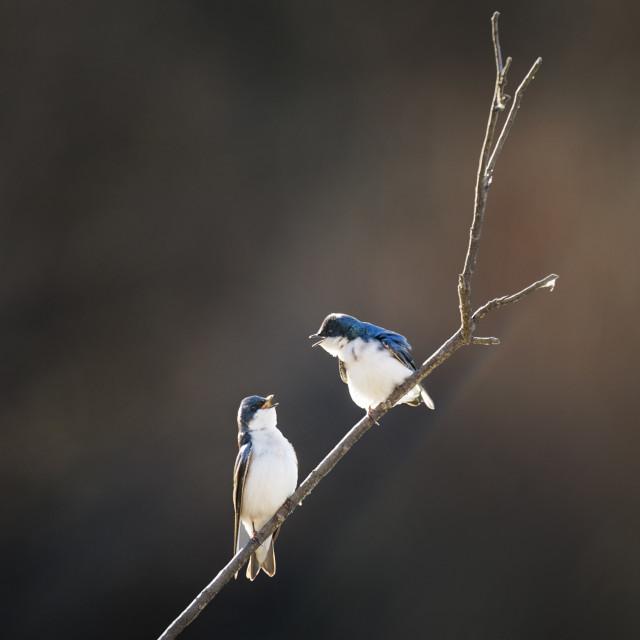 """""""Tree Swallow Pair"""" stock image"""