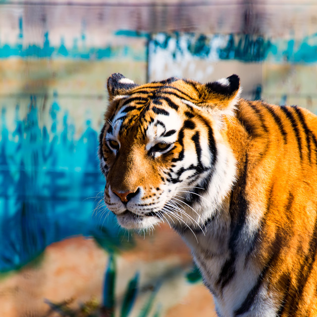 """""""The wild Tiger"""" stock image"""