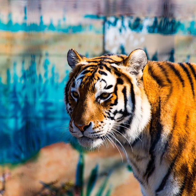 """""""The wild Tiger 2"""" stock image"""