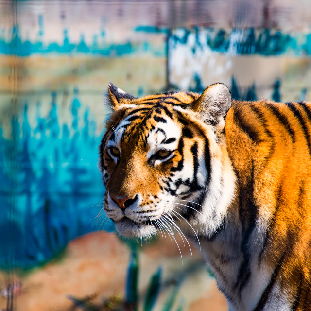 """""""The wild Tiger 3"""" stock image"""