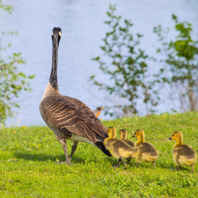 """""""Goose walking with it's goslings"""" stock image"""