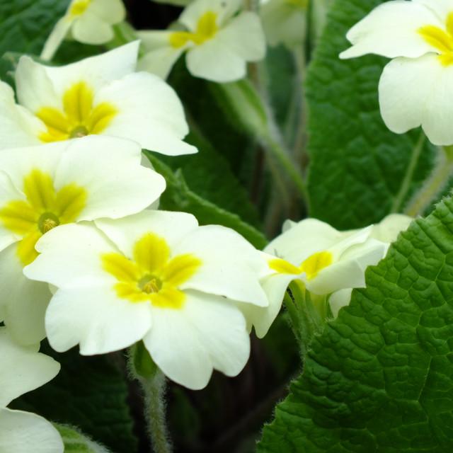 """Primrose flower."" stock image"