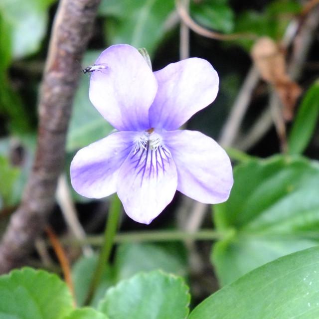 """""""Violet flower."""" stock image"""