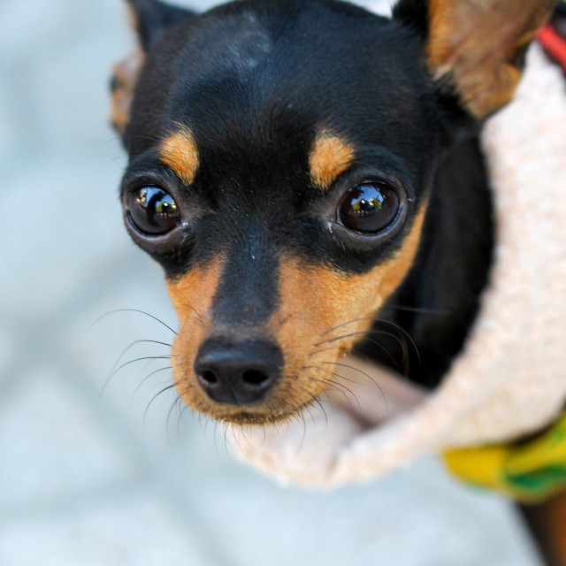"""""""Close up of a Brown doggy with big eyes"""" stock image"""