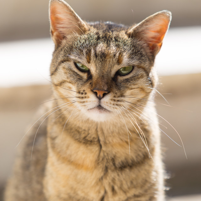 """Street cat"" stock image"